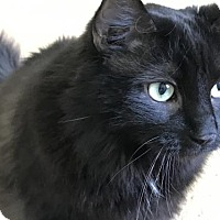 Adopt A Pet :: Nala - Declawed Beauty - Harrisburg, PA