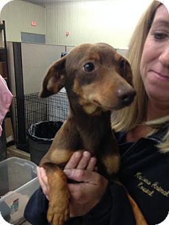 Dachshund Mix Dog for adoption in Holland, Michigan - Buster Brown