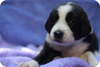 Beagle Mix Dog for adoption in Chantilly, Virginia - Tulip Pup Tootsie
