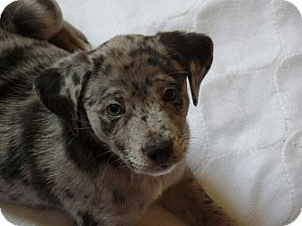 Catahoula Leopard Dog/Labrador Retriever Mix Puppy for adoption in Great Falls, Virginia - Peter