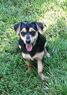 Dachshund Mix Dog for adoption in Allentown, Pennsylvania - Kurt