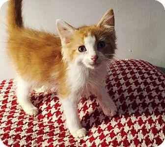 Domestic Shorthair Kitten for adoption in Homewood, Alabama - Harry (Prince)