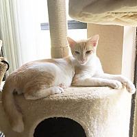 Adopt A Pet :: Luca - Arlington/Ft Worth, TX