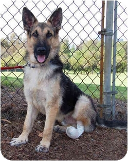 German Shepherd Dog Puppy for adoption in Los Angeles, California - Freddy von Sayers - PETITE