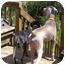 Photo 4 - Weimaraner Dog for adoption in Marietta, Georgia - Scout-Pending