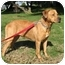 Photo 4 - Redbone Coonhound/Rhodesian Ridgeback Mix Dog for adoption in Berkeley, California - Hannah