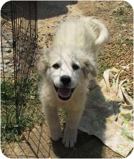 Great Pyrenees Puppy for adoption in Lawrenceburg, Tennessee - Snow