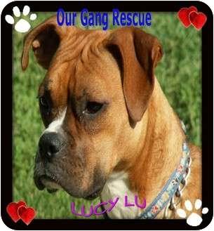 Boxer Puppy for adoption in Cincinnati, Ohio - Lucy Lu