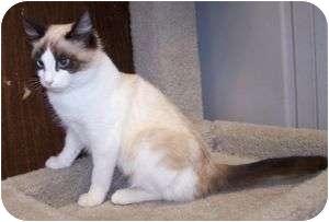 Siamese Cat for adoption in Colorado Springs, Colorado - K-Pat5-Luann