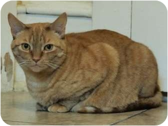 Domestic Shorthair Cat for adoption in Ocean City, New Jersey - Logan