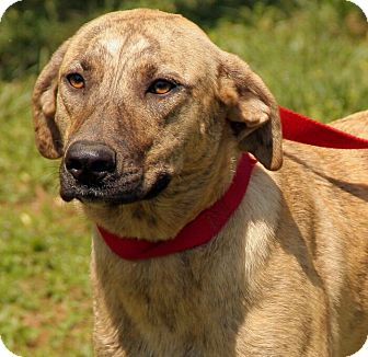 Plott Hound Mix Dog for adoption in Westerly, Rhode Island - Polly