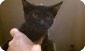Domestic Shorthair Kitten for adoption in Gilbert, Arizona - Leila