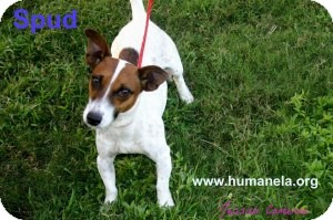 Jack Russell Terrier Mix Dog for adoption in Stow, Maine - Spud