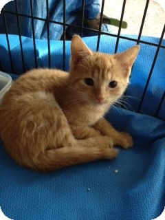 Domestic Shorthair Kitten for adoption in Ft. Lauderdale, Florida - Miss Marmalade