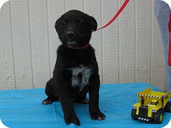 Feist/Australian Cattle Dog Mix Puppy for adoption in Humboldt, Tennessee - Phoenix