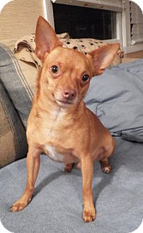 Chihuahua/Miniature Pinscher Mix Dog for adoption in Mary Esther, Florida - Charlie