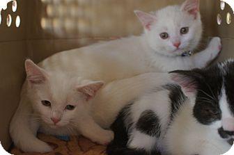 Domestic Shorthair Kitten for adoption in Warren, Michigan - Batman