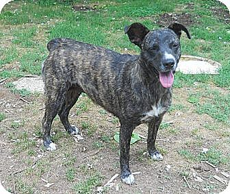 German Shepherd Dog/Boxer Mix Dog for adoption in Centerville, Tennessee - Lottie