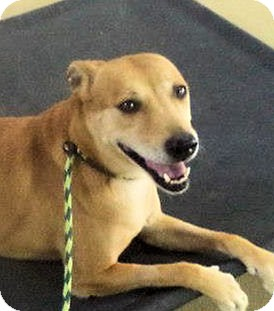 Boxer/Collie Mix Dog for adoption in Bergheim, Texas - Layla