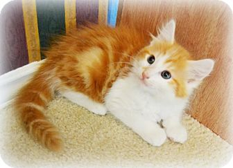 Domestic Longhair Kitten for adoption in Arlington/Ft Worth, Texas - Oscar