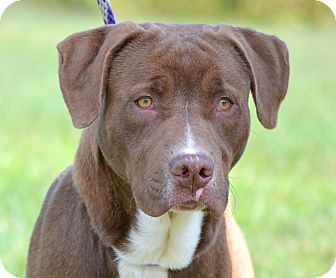 Labrador Retriever/American Pit Bull Terrier Mix Dog for adoption in Villa Hills, Kentucky - Lars