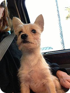 Terrier (Unknown Type, Small) Mix Puppy for adoption in Santee, California - Alvin