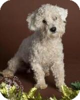 Poodle (Miniature) Mix Dog for adoption in Phoenix, Arizona - Fife - non shed!