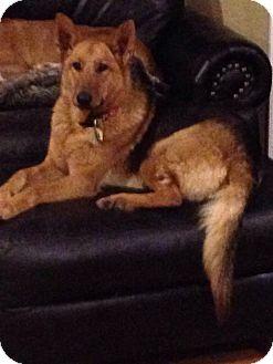 German Shepherd Dog Dog for adoption in Fort Worth, Texas - Rosie
