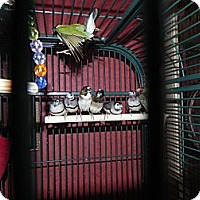 Adopt A Pet :: Owl Finches - St. Louis, MO