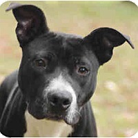 Adopt A Pet :: Ruger - Chicago, IL