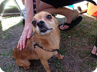 Chihuahua Dog for adoption in S. Pasedena, Florida - Rio
