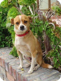 Beagle/Chihuahua Mix Dog for adoption in Corona, California - RAYMOND