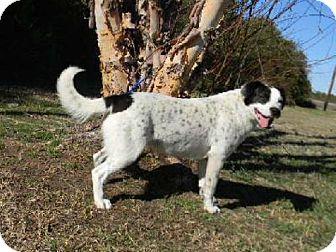 Terrier (Unknown Type, Medium)/Spaniel (Unknown Type) Mix Dog for adoption in Tyner, North Carolina - Carolina