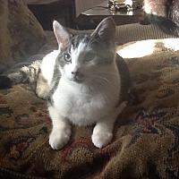 Domestic Shorthair Cat for adoption in Morganton, North Carolina - Robin