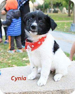 Border Collie Mix Puppy for adoption in Castro Valley, California - Cynthia
