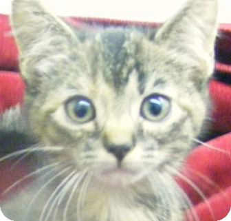 Domestic Shorthair Kitten for adoption in Olive Branch, Mississippi - Candy