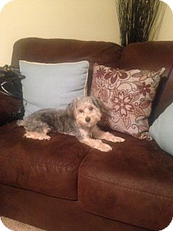 Yorkie, Yorkshire Terrier/Poodle (Miniature) Mix Dog for adoption in Richmond, Virginia - Beau
