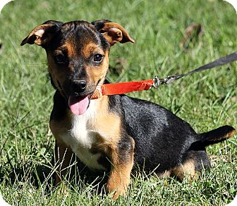 Rat Terrier Mix Puppy for adoption in Plainfield, Connecticut - Libby