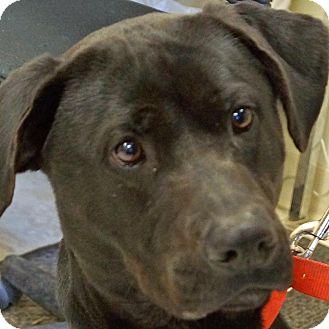 Labrador Retriever Mix Dog for adoption in Sprakers, New York - Tony