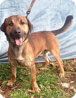 Australian Shepherd/Basset Hound Mix Dog for adoption in Snohomish, Washington - Turley, active and affectionat