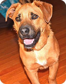 Shepherd (Unknown Type)/Corgi Mix Dog for adoption in Allentown, Pennsylvania - Rudy (RS)