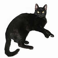 Bombay Cat for adoption in Los Angeles, California - Delta