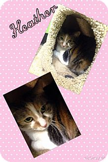 Domestic Shorthair Cat for adoption in Bryan, Ohio - Heather