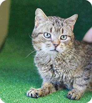 Domestic Shorthair Cat for adoption in South Haven, Michigan - Buddy
