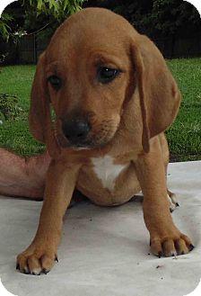 Hound (Unknown Type) Mix Puppy for adoption in Washington court House, Ohio - Dixie Dawn