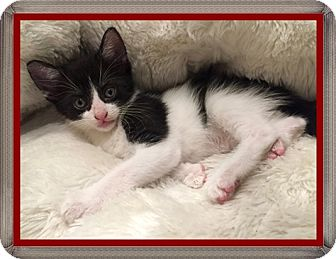 Domestic Shorthair Kitten for adoption in Mt. Prospect, Illinois - Lincoln