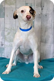 Terrier (Unknown Type, Medium) Mix Puppy for adoption in Waldorf, Maryland - Snow Ball
