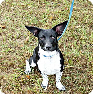 Jack Russell Terrier/Beagle Mix Dog for adoption in White Cloud, Michigan - Tidbit