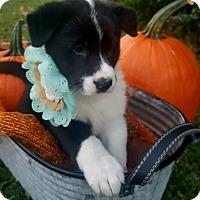 Adopt A Pet :: Shimmy - Gainesville, FL