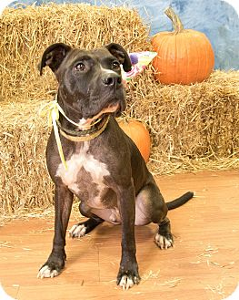 American Staffordshire Terrier/Labrador Retriever Mix Dog for adoption in Warner Robins, Georgia - Benji